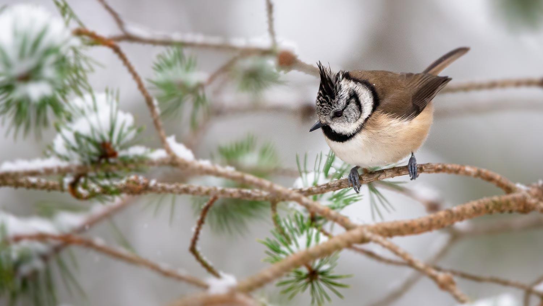 Crestie on snowy branch