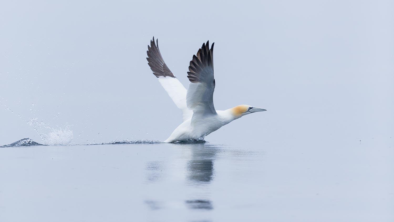 Gannet take-off