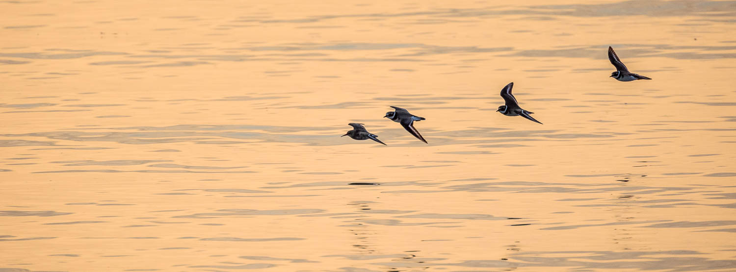 Plovers flying as the sun sets